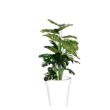 Monstera Plant White Pot